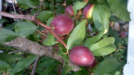 Prunus Persica Nucipersica Nectarine Tree Prunus Persica Nucipersica