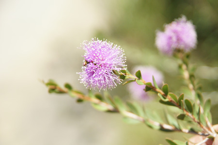 Showy honey-myrtle, Pink Melaleuca, Melaleuca nesophila, shrub or small tree with about 2 cm long elliptic leaves and lavender to rose pink flowers in globose clusters. Stock Photo