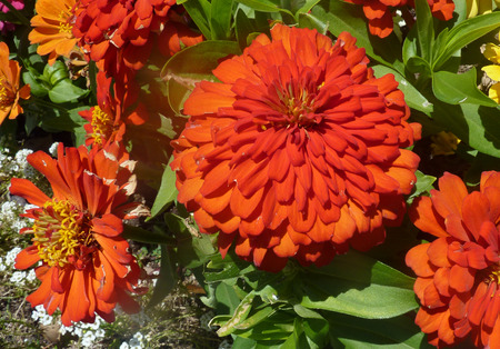 numerous: Zinnia hybrida Orange red, ornamental annual herb with opposite leaves and orange red heads with numerous ray florets