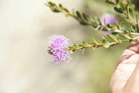 globose: Showy honey-myrtle, Pink Melaleuca, Melaleuca nesophila, shrub or small tree with about 2 cm long elliptic leaves and lavender to rose pink flowers in globose clusters. Stock Photo