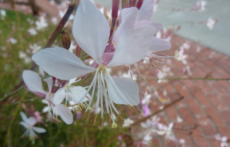herbaceous: Lindheimers Beeblossom, White Gaura, Oenothera lindheimeri, herbaceous perennial with lanceolate leaves and white to pink flowers on long peduncle
