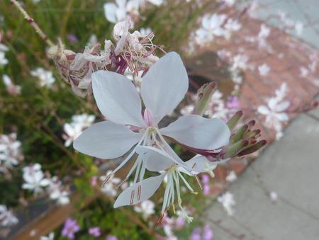 lanceolate: Lindheimers Beeblossom, Bianco Gaura, Oenothera lindheimeri, perenne erbacea con foglie lanceolate e nero a fiori rosa su lungo peduncolo Archivio Fotografico