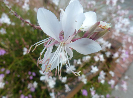 lanceolate: Lindheimers Beeblossom, White Gaura, Oenothera lindheimeri, herbaceous perennial with lanceolate leaves and white to pink flowers on long peduncle