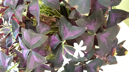 Oxalis triangularis atropurpureus, Purple shamrock, perennial ornamental herb with dark purple triangular leaves and white flowers in an umbel