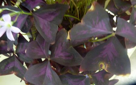 umbel: Oxalis triangularis atropurpureus, Purple shamrock, perennial ornamental herb with dark purple triangular leaves and white flowers in an umbel