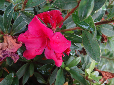 elliptic: Red Rhododendron, evergreen shrub to small tree with elliptic lanceolate thick leaves and red flowers in clusters