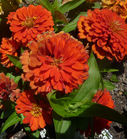 florets: Zinnia hybrida orange, ornamental herb with opposite leaves and 5-8 cm across heads on long peduncle, bearing orange ray florets and dark disc.