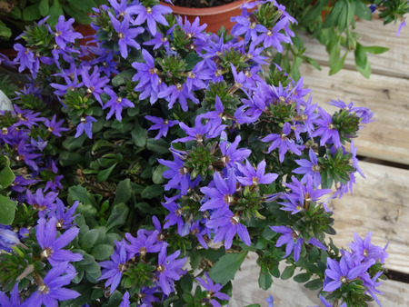 Scaevola aemula Top Pot Blue, Top Pot Blue Scaevola, perennial herb with mounding spreading habit and blue flowers, suitable for pots and baskets. Stock Photo