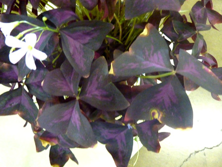 oxalis: Oxalis triangularis atropurpureus, Purple shamrock, perennial ornamental herb with dark purple triangular leaves and white flowers in an umbel