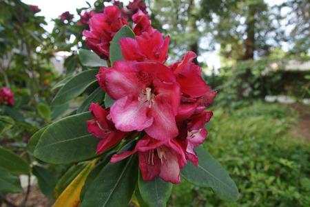 lanceolate: Red Rhododendron, arbusto sempreverde di piccolo albero con foglie spesse lanceolate ellittiche e fiori rossi a grappoli