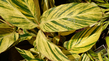 alpinia: Alpinia zerumbet Variegata, Perennial herb with broad green and yellow variegated leaves and, and colourful funnel-shaped flowers