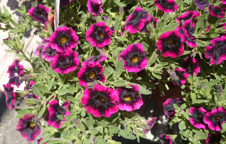 throughout: Calibrachoa Superbells Blackberry Punch, hybrid with long blooming small petunia like flowers, purple pink with black eyes, blooming throughout the year Stock Photo