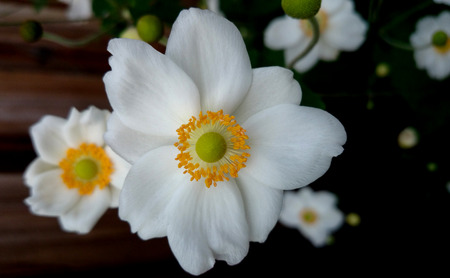 branched: Anemone hybrida Honorine Jobert , cultivar, perennial up to 2 m tall with ternate leaves and white flowers on a long scape, two or three branched, stamens in a neat circle