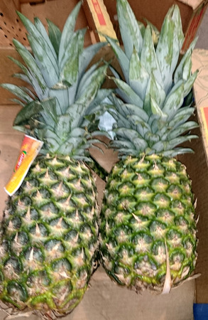 fleshy: Pineapple, Ananas comosus, tropical multifruit consisting of fleshy coalescent berries and axis, used in juices, fresh fruits and candied
