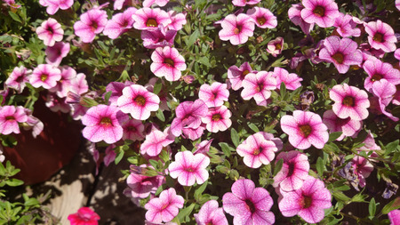 Calibrachoa Cabaret Pink Vein, Cabaret Pink Vein Calibrachoa, annual bedding plant with green leaves and trumpet shaped pink flowers with darker veins and dark centre