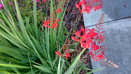 smaller: Crocosmia crocosmiflora, Montbretia, perennial herb with narrow Gladiolus like leaves but smaller golden orange flowers on zigzag stems. Stock Photo