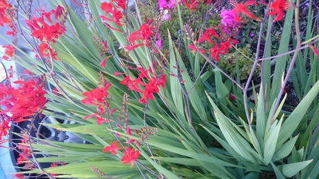 smaller: Crocosmia crocosmiflora, Montbretia, perennial herb with narrow Gladiolus like leaves but smaller golden orange flowers on zigzag stems. Stock Photo