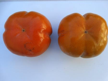 globose: Fuyu persimon, Diospyros kaki, cultivar with depressed globose fruits, intitially yellow, finally orange, not astringent Stock Photo