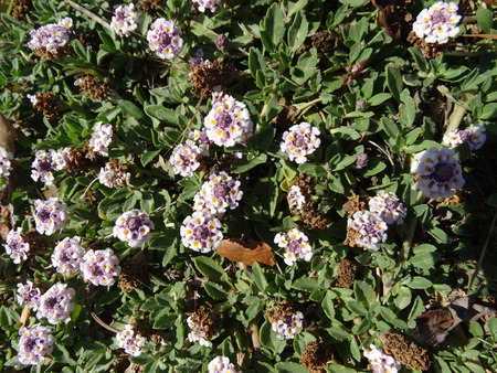 toothed: Phyla incisa, Texas Frog-fruit, a creeping perennial herb with slightly toothed leaves and white flowers in heads, forming mounds, good for erosion control along streams.