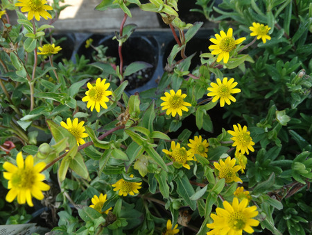 branching: Sanvitalia speciosa Million Suns, ornamental herb with stout branching stems and yellow radiate heads with greenish center.