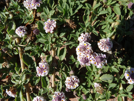 slightly: Phyla incisa, Texas Frog-fruit, a creeping perennial herb with slightly toothed leaves and white flowers in heads, forming mounds, good for erosion control along streams.