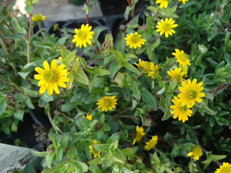 radiate: Sanvitalia speciosa Million Suns, ornamental herb with stout branching stems and yellow radiate heads with greenish center.