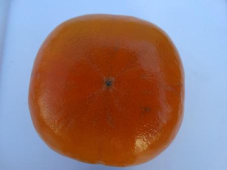 globose fruits: Fuyu persimon, Diospyros kaki, cultivar with depressed globose fruits, intitially yellow, finally orange, not astringent Stock Photo