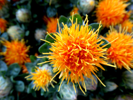 herbaceous  plant: Safflower, Carthamus tinctorius, cultivated herbaceous plant with thistle like leaves and orange yellow heads, seeds used for extraction of vegetable oil, dry flower heads for coloring