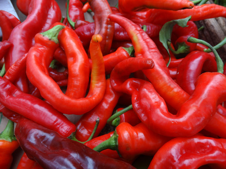 producing: Chille pepper Hot Portugal, Capsicum annuum longum, cultivar with sturdy erect plants producing elongated glossy bright red fruits. Stock Photo