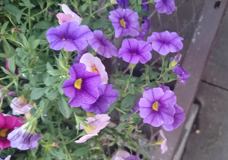 suitable: Calibrachoa Aloha Purple, Mini petunia like flowers purple flowers with lighter veins and yellow center, suitable for flowerbeds and baskets.
