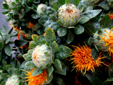 Safflower, Carthamus tinctorius, cultivated herbaceous plant with thistle like leaves and orange yellow heads, seeds used for extraction of vegetable oil, dry flower heads for coloring