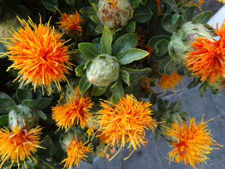 herbaceous: Safflower, Carthamus tinctorius, cultivated herbaceous plant with thistle like leaves and orange yellow heads, seeds used for extraction of vegetable oil, dry flower heads for coloring
