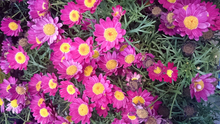argyranthemum: Argyranthemum frutescens, Cobbitty daisy, ornamental herb with finely dissected leaves and radiate heads with red to purple rays and yellow center