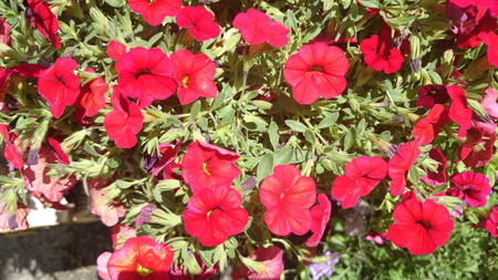 trailing: Calibrachoa Minifamous double Magenta, cultivar with mini petunia like flowers, trailing habit, early flowering, magenta with darker center, best for baskets.