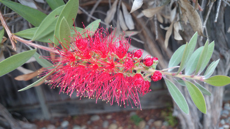 callistemon: Callistemon citrinus, shrub or small tree with lanceolate leaves and red flowers in spikes with dark anthers. Stock Photo
