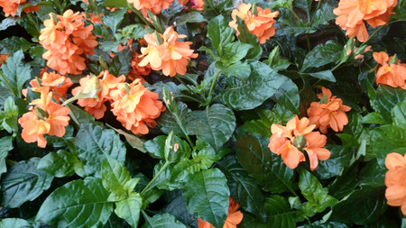 clusters: Firecracker flower, Crossandra infundibuliformis, small evergreen shrub with wavy leaves and orange coloured flowers in clusters