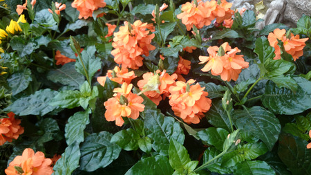 Firecracker flower, Crossandra infundibuliformis, small evergreen shrub with wavy leaves and orange coloured flowers in clusters