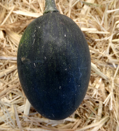 egg laying: Dark green goblin egg, small ornamental fruits with hard shell and the size of eggs, often used to induce hens for egg laying Stock Photo