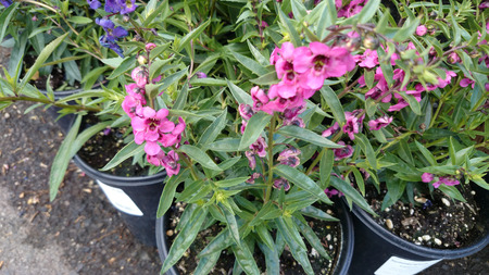 loosely: Angelonia angustifolia Carita Pink, loosely branching ornamental herb with linear lanceolate leaves and pink flowers in rose pink flowers with dark center on long spikes