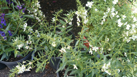 branching: Angelonia angustifolia Carita White, loosely branching ornamental herb with linear lanceolate leaves and white flowers with dark center on long spikes