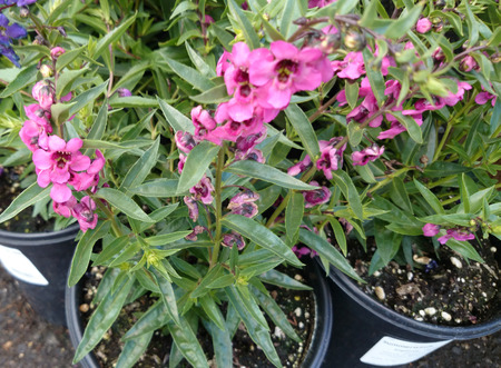 branching: Angelonia angustifolia Carita Pink, loosely branching ornamental herb with linear lanceolate leaves and pink flowers in rose pink flowers with dark center on long spikes
