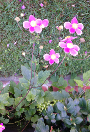 margins: abundance, anemone, cultivar, flowers, hardpen, hupehensis, leaves, lighter, long, margins, peduncles, pink, ternate