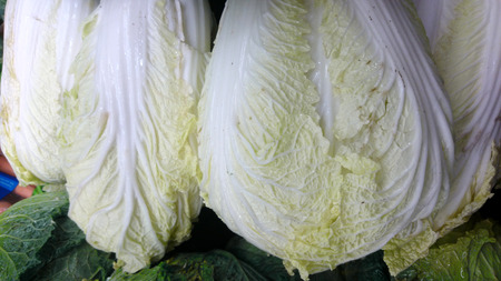 Nappa cabbage, Brassica rapa pekinensis, vegetable crop with vegetative bud of large pale lemon white leaves, closely packed, used as vegetable and salad