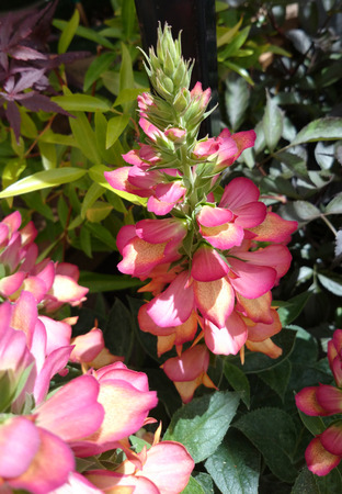 tipped: Digitalis Illumination Flame, Ornamental perennial herb with dark green leaves and pink tipped with pale orange center in terminal spikes Stock Photo