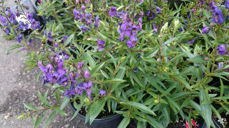 branching: Angelonia angustifolia Carita Purple, loosely branching ornamental herb with linear lanceolate leaves and purple flowers with dark center on long spikes