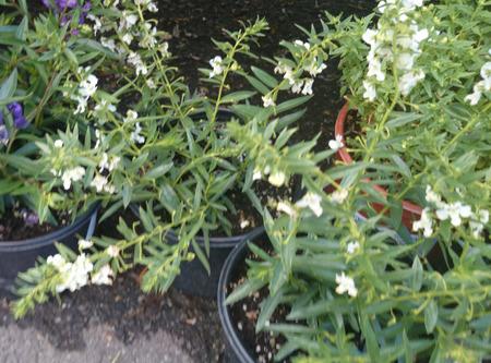 lanceolate: Angelonia angustifolia Carita Bianco, vagamente ramificazione erbe ornamentali con foglie lanceolate lineari e fiori bianchi con centro scuro su lunghe spighe Archivio Fotografico