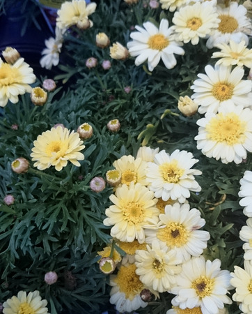argyranthemum: Argyranthemum frutescens, Cobbitty daisy, ornamental herb with finely dissected leaves and radiate heads with white rays and yellow center