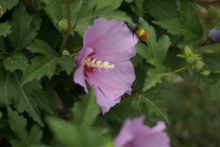 lobed: Hibiscus syriacus Aphrodite, Deciduous shrub to small tree with lobed leaves and snow pink flowers with red fringed blotches at base of petals