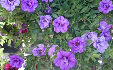 MiniFamous Double Amethyst Calibrachoa, cultivar with mini petunia like flowers, semidouble, purple in color, plant with trailibg habit, suitable for pots