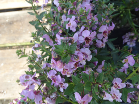 loosely: Angelonia angustifolia Carita Purple, loosely branching ornamental herb with linear lanceolate leaves and purple flowers with dark center on long spikes